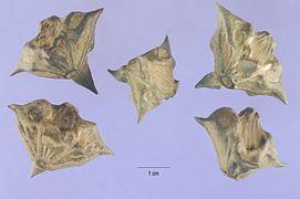 Trapa natans L. (water chestnut).jpg