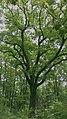 Traubeneiche Marz Naturdenkmal.jpg