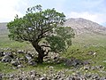 Tree, Glen Etive - geograph.org.uk - 187521.jpg