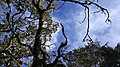 Tree, Mount Lompobattang, Sulawesi, Indonesia.jpg