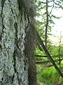 Tree with beard-like covering of Bryoria fuscescens - geograph.org.uk - 1282325.jpg