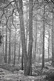 Trees in the forest of Femöre, Sweden.jpg