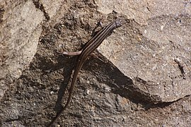 Tremp Formation - Lizard on top of conglomeratic section.jpg