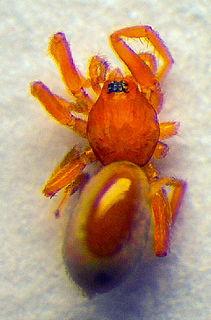 <i>Triaeris</i> genus of arachnids