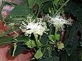 TrichosanthesKirilowii1.jpg
