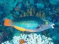 Tricolor parrotfish (Scarus tricolor) (42703343784).jpg