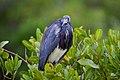 Tricolored Heron (24128940366).jpg