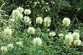 Trifolium ochroleucon.JPG