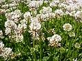 Trifolium repens (5154568317).jpg