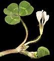 Trifolium subterraneum - Flickr - Kevin Thiele.jpg