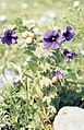 Triguera ambrosia. Berry-bearing nightshade. Near Tarifa (37047783044).jpg