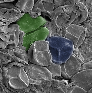 Evolutionary history of plants - A Late Silurian sporangium, artificially colored. Green: A spore tetrad. Blue: A spore bearing a trilete mark – the Y-shaped scar. The spores are about 30-35 μm across