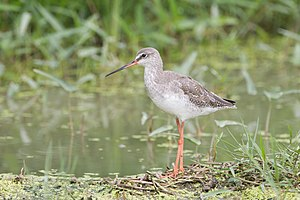 Spotted redshank - Spotted redshank in non-breeding plumage