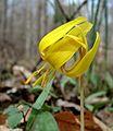 Trout Lily (Liliaceae Erythronium americanum).jpg
