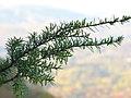Tsuga caroliniana foliage.jpg