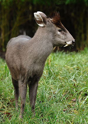 Tufted deer - Male tufted deer, with tusks and a more prominent tuft of hair. The antler is barely visible.