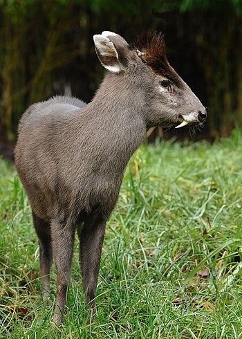 English: Tufted Deer (Elaphodus cephalophus), ...