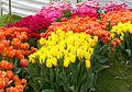 Tulips (4466600848).jpg