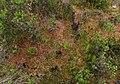 Turbera en bosque de Chonchi 01.jpg