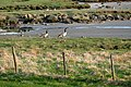 Two Canada geese in Norrkila mudflats.jpg