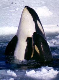 .::Orca::. 200px-Type_C_Orcas_2
