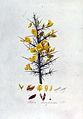 Ulex europaeus — Flora Batava — Volume v2.jpg