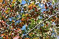 Ulmus parviflora Frontier 0zz.jpg