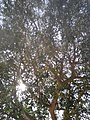 Ulmus parvifolia by Prahlad balaji.jpg