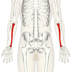 Ulna - anterior view.png