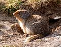 Unidentified Ground squirrel.jpg