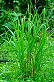 Unidentified plant in India 02478.jpg