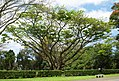 Unknown tree - Queen Liliuokalani Gardens, Hilo, Hawaii (2439627495).jpg