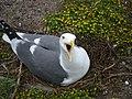 Upset Western Gull (14097751378).jpg
