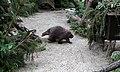 Urson Erethizon dorsatum Tiergarten Schönbrunn Wien 2014 b.jpg