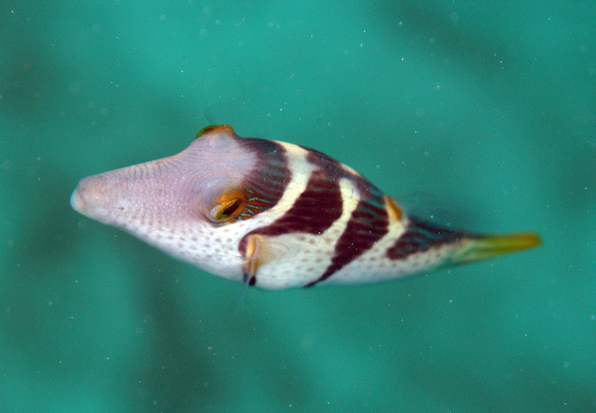 Valentin 39 s sharpnose puffer wikipedia for Types of fish at walmart