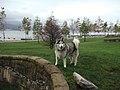 Vancouver BC husky.jpg