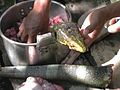 Varanus bitatawa stew being prepared by Agta tribesmen - ZooKeys-266-001-g071.jpg