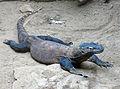 Varanus komodoensis (4).jpg