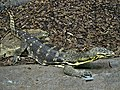 Varanus salvator (Water monitor), Burgers zoo, Arnhem, the Netherlands.JPG
