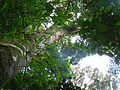 Vegetación de la Reserva de la Biosfera La Amistad Panama (RBLAP) 25.JPG