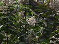 Vernonia arborea (5598476924).jpg