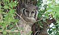 Verreaux Eagle-Owl (Bubo lacteus) (6021683055).jpg