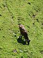 Viehgangeln am Grünten (7).jpg