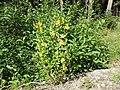 Viguiera multiflora (7990095265).jpg