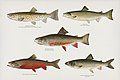 Vintage illustrations by Denton from Game Birds and Fishes of North America digitally enhanced by rawpixel 01.jpg