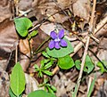 Viola reichenbachiana in Aveyron (1).jpg