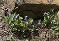 Viola sp - Menekşe 02.jpg