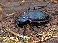 Violet Ground Beetle (Carabus purpurascens laevicostatus) hibernating in dead wood (13537219005).jpg