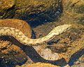 Viperine snake. Natrix maura - Flickr - gailhampshire.jpg