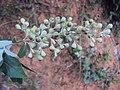 Vitex trifolia 09.JPG